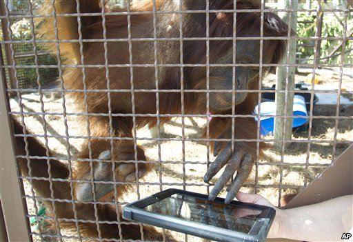 Photo of iPad bagi Orangutan untuk mengusir rasa bosan